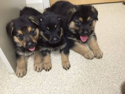 Well Trained German Shepard Puppies For Sale