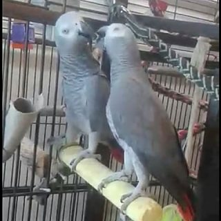 african grey birds