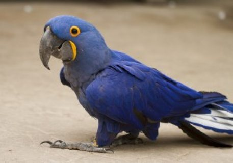 Adorable Talking Hyacinth Macaws Up Now for A New Family. for sale