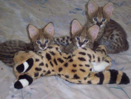 F1 Savannah Kittens available