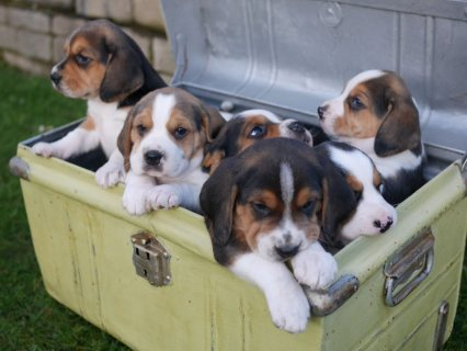 صور  Beagle Puppies 1