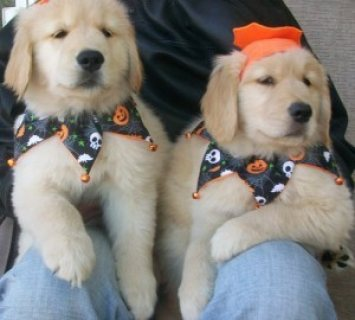 Healthy Male and Female Golden Retriever puppies for sale