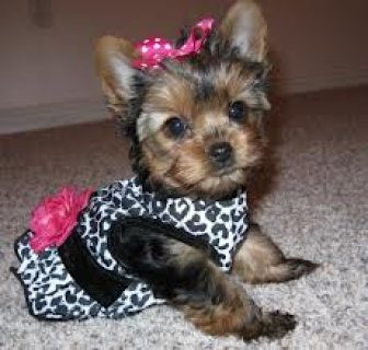 Home Trained Yorkie Puppies