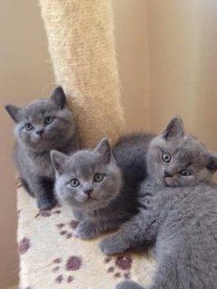 The Best Blue British Short hair Kittens