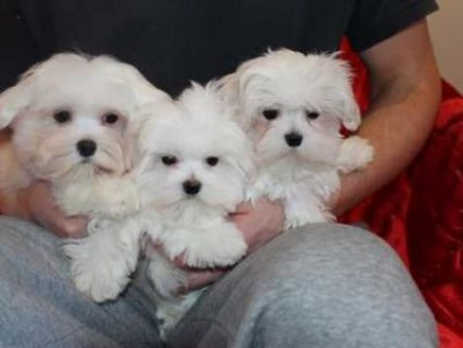 Beautiful Maltese Puppies 2 Boys Left