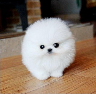 Pomeranian puppy with a kissable face