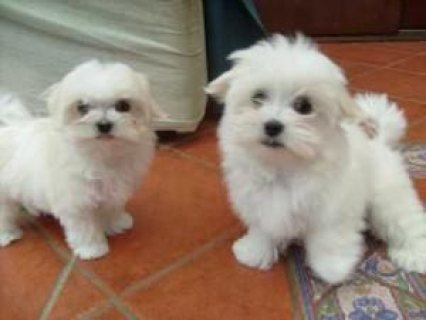 12 Weeks Teacup Maltese puppies for sale
