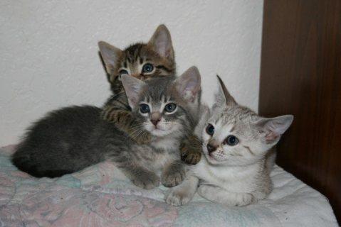 Rosetted Toyger Kittens Available