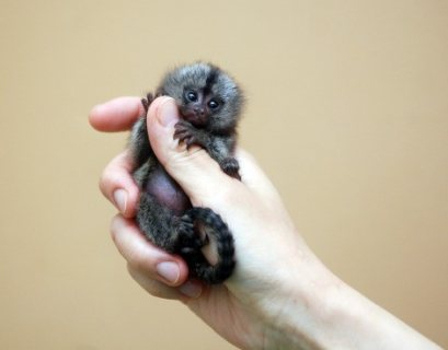 Adorable Marmoset Monkeys for.sale