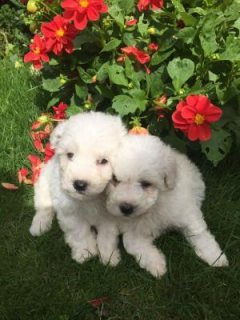 Lovely Bichon Frise Puppies For Adoption