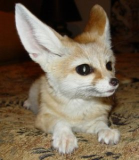 Cute male and female Fennec Fox Kittens for sale