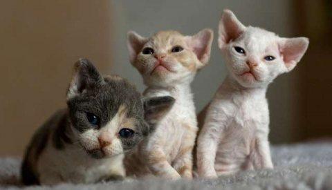 Lovely Devon Rex Kittens for sale