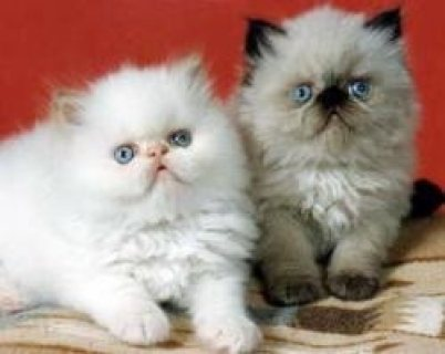 Himalayan Kittens Available for sale