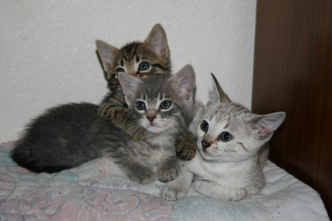 Rosetted Toyger Kittens Available for sale