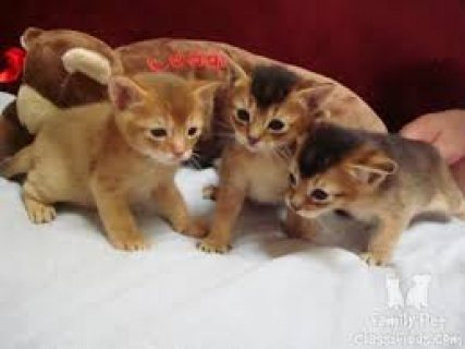 Abyssinian Kittens Available for sale