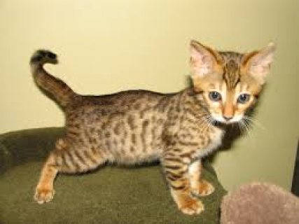 Gift Potty Trained Savannah Kittens for sale