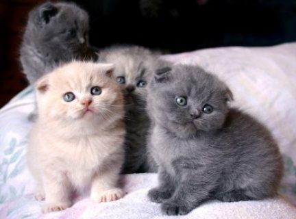 Unusual Black Scottish Fold Kittens Kittens for sale