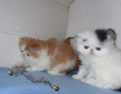 Adorable colorful male and female Persian Kittens for Sale