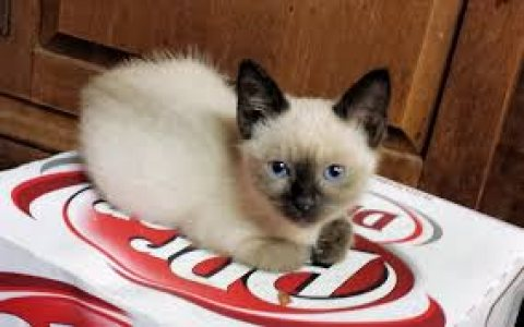 Beautiful male and female Siamese Kittens for sale