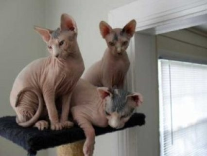 Sphynx Kittens with Pedigree for sale
