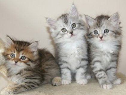 صور Adorable male and female Siberian Kittens Available for sale 1