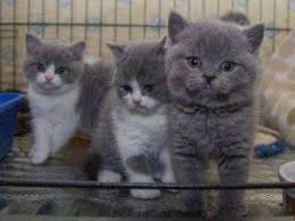 Registered British Shorthair Kittens for sale
