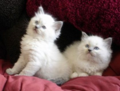 Lovely male and female Ragdoll Kittens Available