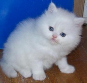 Healthy Male and female Persian kittens available for sale