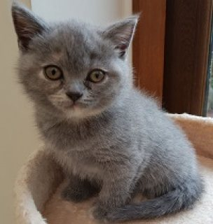 Adorable British short-haired kittens available for for sale