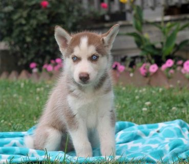 'Siberian Husky Puppies For Sale