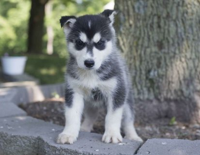 'Well trained Siberian Husky Puppies For Sale