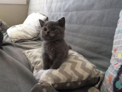 British Shorthair Kittens ready for sale