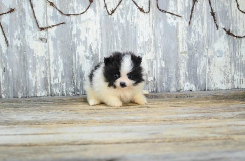 Lovely Pomeranian Puppies For Sale.