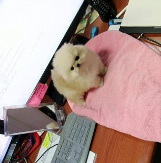 Gorgeous Pomeranian Puppies For Sale.