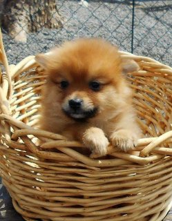 Nice Pomeranian Puppies For Sale.