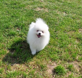 Well Trained Pomeranian Puppies For Sale.