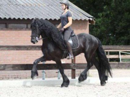 BEAUTIFUL SOLID QUARTER HORSE GELDING FOR SALE