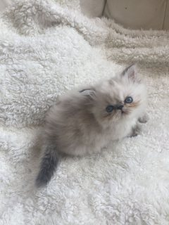 Both Male and female Persian kittens For Sale