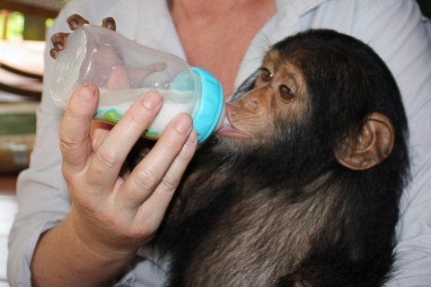 Marvelous and adorable Chimpanzees for Sale