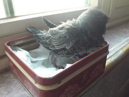 طيور الابابيل