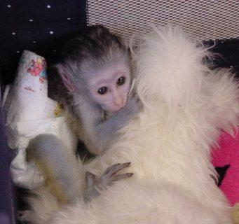 القردة الرائعة كابوتشين للبيع