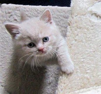 Registered British Shorthair Kitten for Sale.