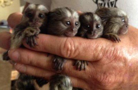 Male And Female Marmoset Finger Monkey Babies