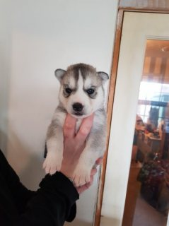 Husky Puppies Blue eyes Ready For Sale