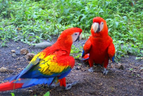 صور Affectionate Macaw Parrots Looking For Good Homes  1