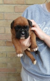Cute Boxer Puppies For sale