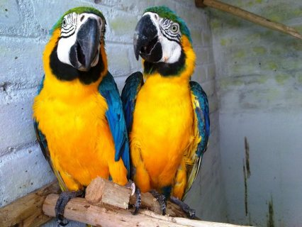 4 Gorgeous Home Raised Macaw Parrots For Sale