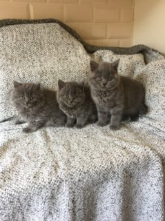 British Short Hair Kittens Solid Blue For Sale
