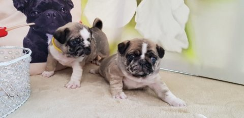 K.c.reg Pug Puppies For Sale