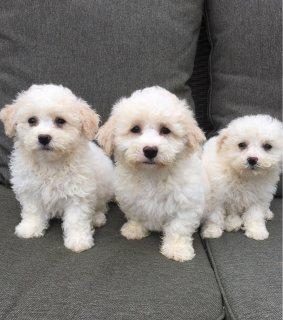 Bichon Frise Puppies for sale